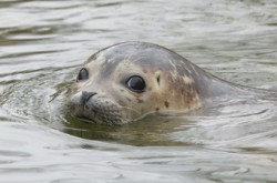 Restauranter in Hel (Poland) wants to put seal on the menu