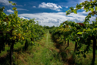image rows of grape vines