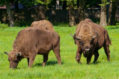 image the Polish Bison