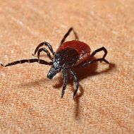 Watch out for ticks in Polish forests and parks