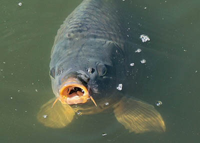 Battle for Polish carps rights ended – good news for animal activists